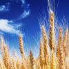 The Wheat Belly Diet: Lose the Wheat, Lose the Weight?